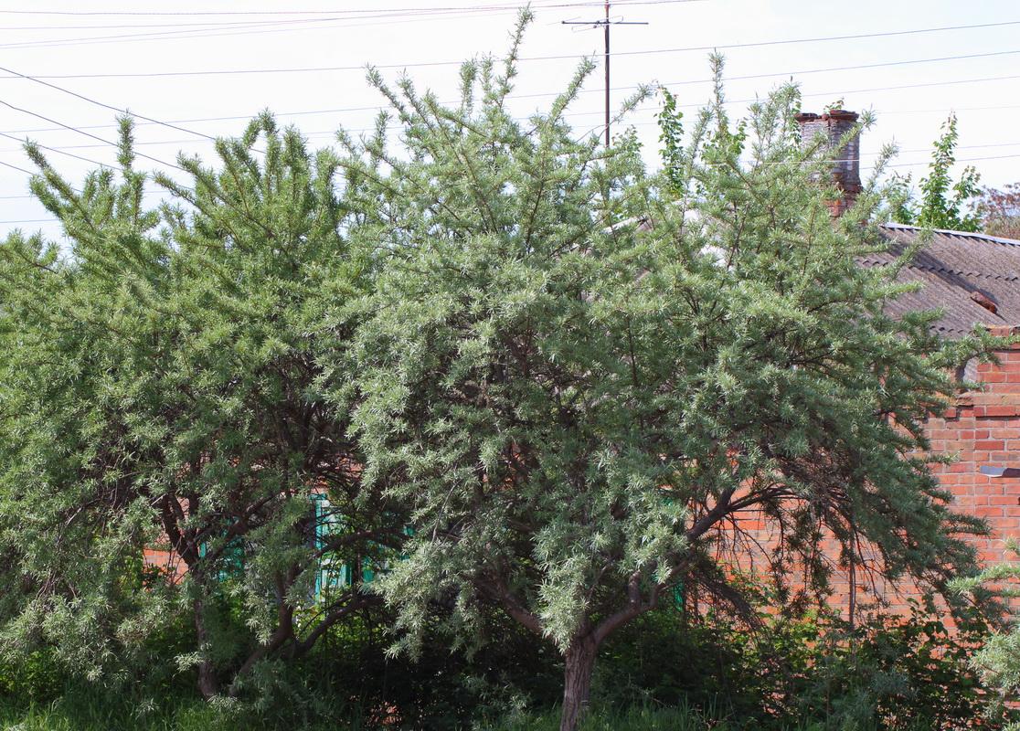 Облепиха крушиновидная (Hippophae rhamnoides)