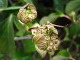Viburnum suspensum