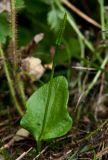 Ophioglossum alaskanum