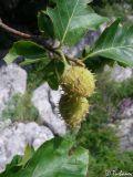Fagus × taurica