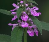 Stachys palustris
