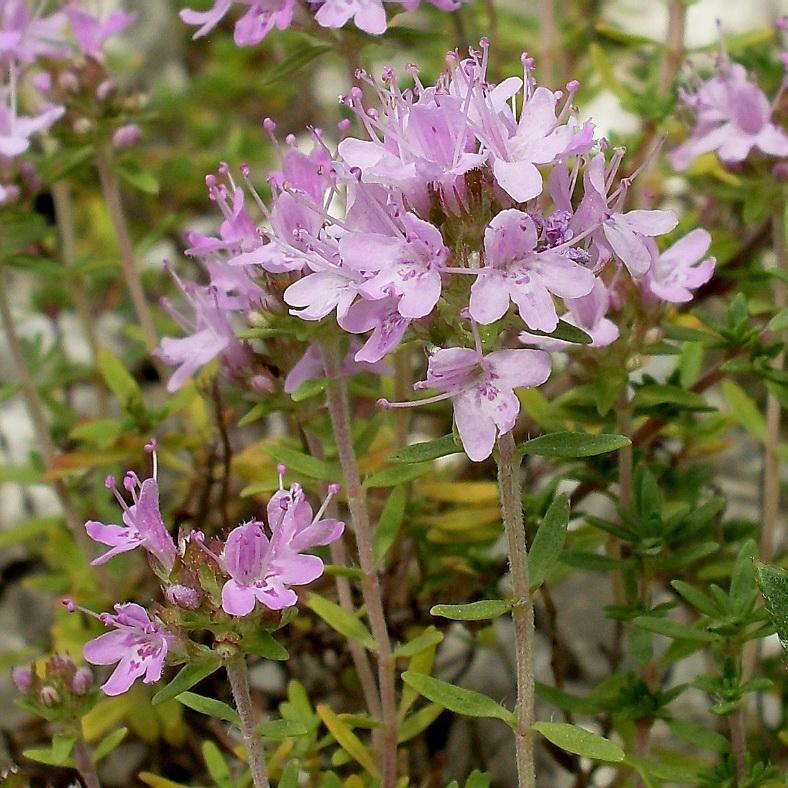 Тимьян меловой - Thymus calcareus - Описание таксона - Плантариум