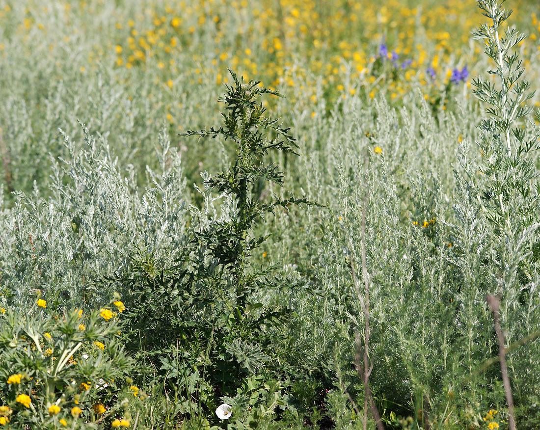 Чертополох шиповатый (Carduus acanthoides) Автор фото: Виталий Гуменюк