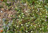 Cerastium syvaschicum
