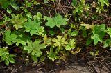 Lepistemon binectariferum