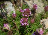 Thymus jalasianus