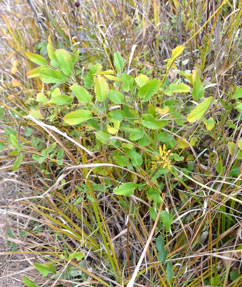 Кровохлёбка лекарственная (Sanguisorba officinalis). Автор фото: Непоменко Леонид