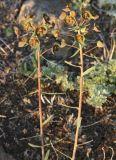 Euphorbia subcordata