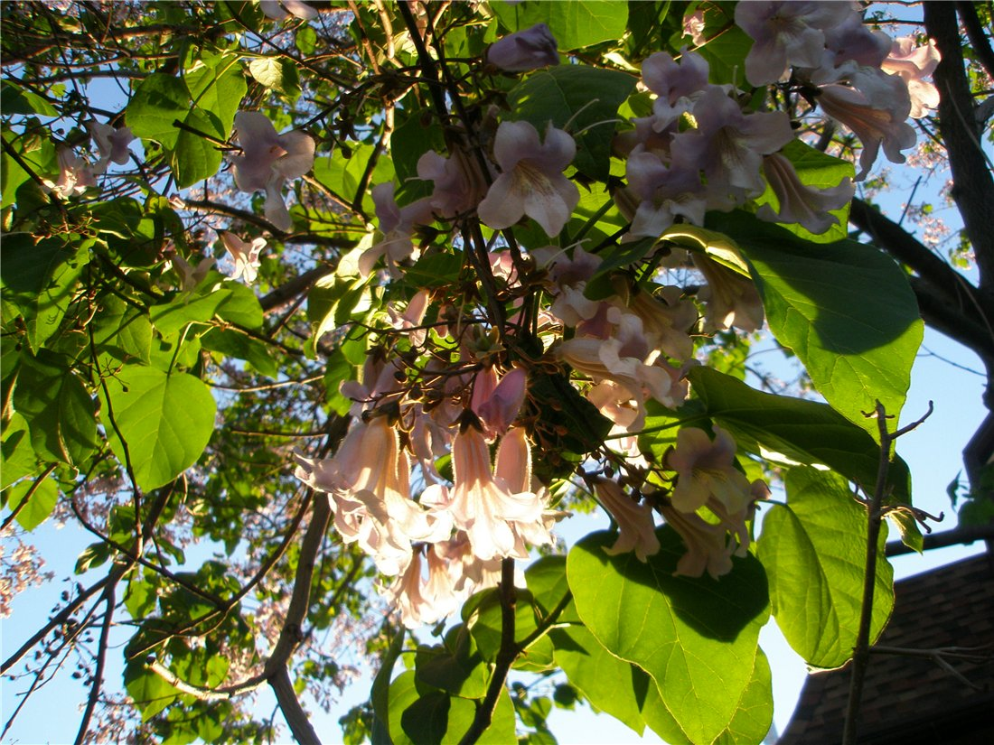 адамово дерево фото комнатное растение личную жизнь