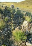 Echinops saissanicus