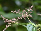 Pilea multiflora