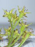 Crataegus submollis