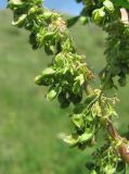 Rumex patientia ssp. orientalis