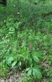 Dictamnus caucasicus