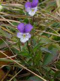 Viola disjuncta