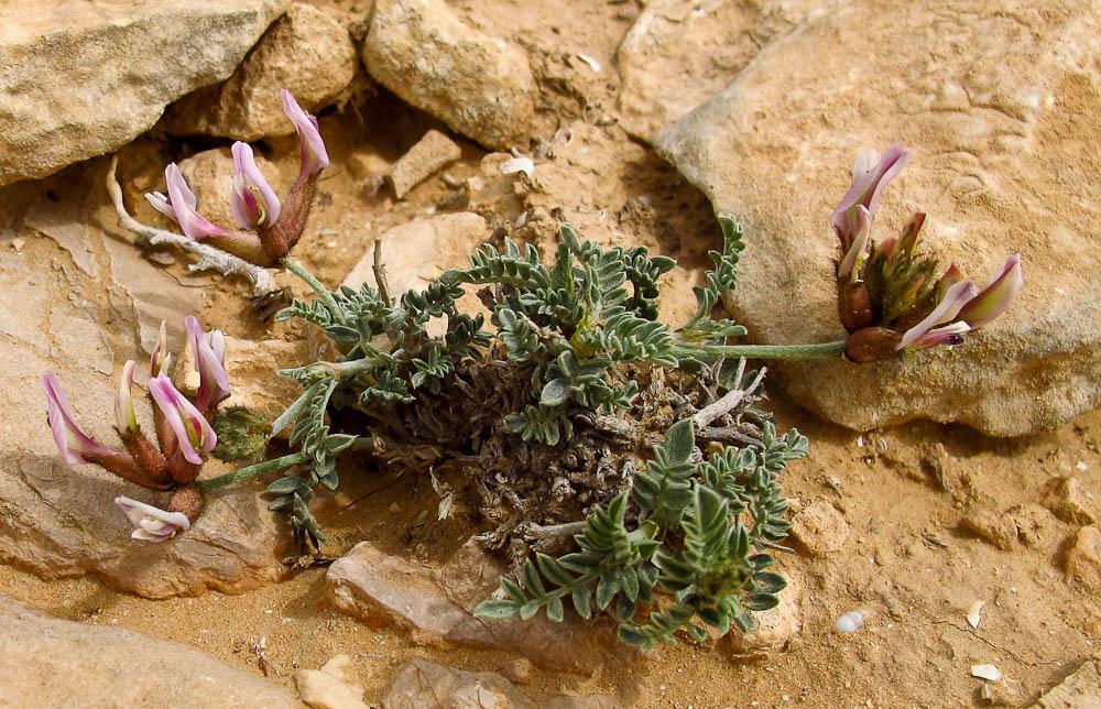 Изображение растения Astragalus amalecitanus.