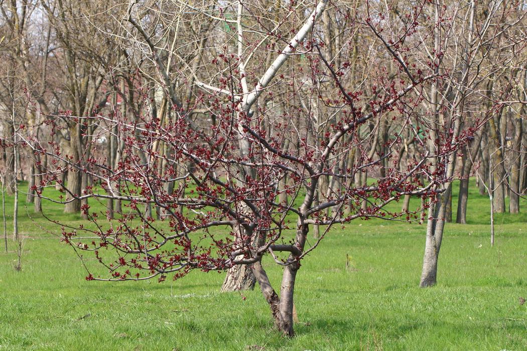 Яблоня Недзвецкого (Malus niedzwetzkyana)