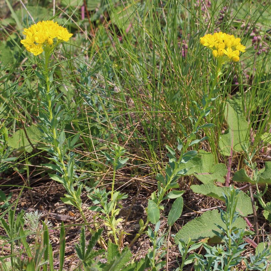 Цельнолистник душистый (Haplophyllum suaveolens)