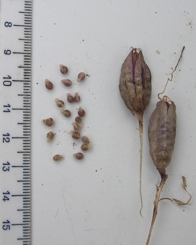 Как сажать семена подснежников 65