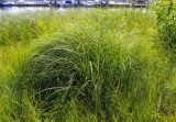 Carex vulpina