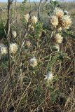 Astragalus turbinatus
