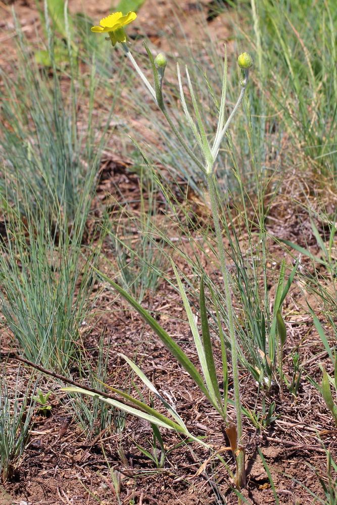 Лютик иллирийский (Ranunculus illyricus)