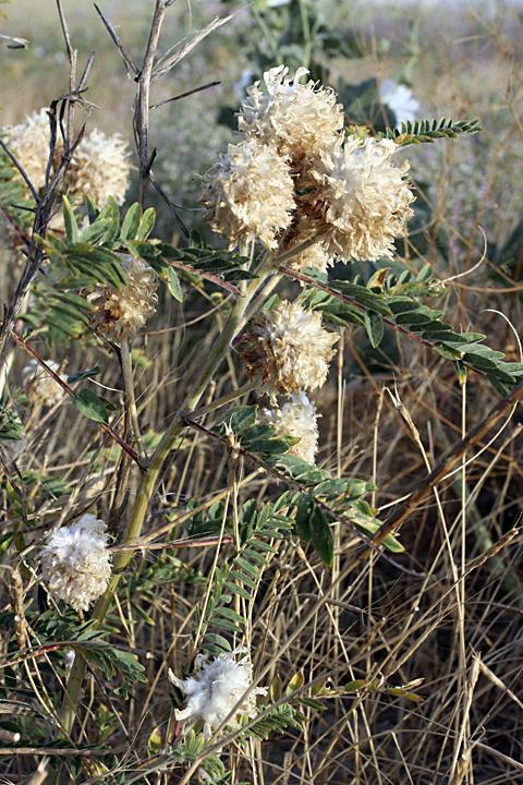 Изображение растения Astragalus turbinatus.