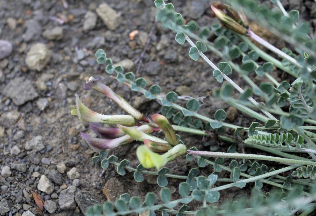 Изображение растения Astragalus confiniorum.