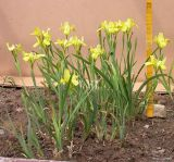 Iris pineticola