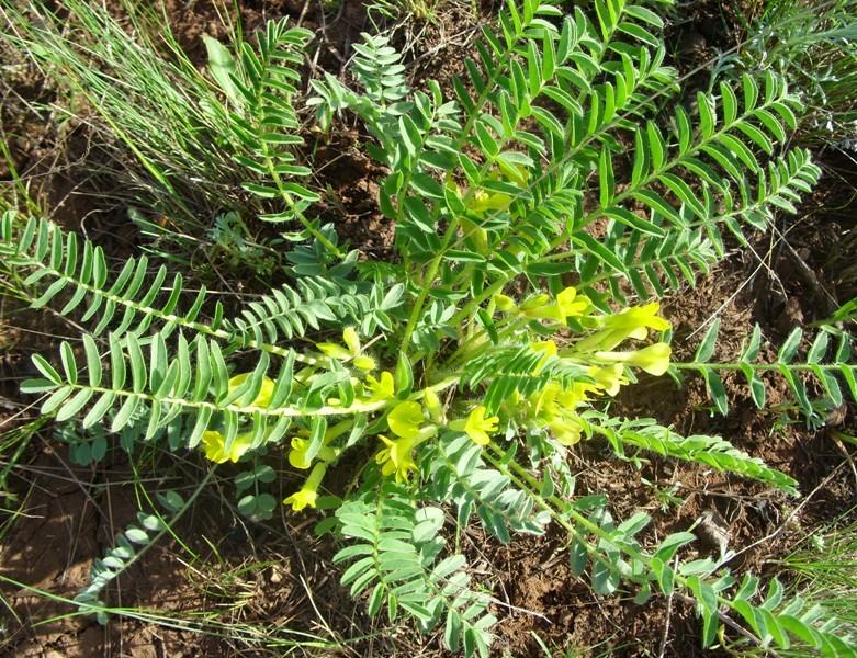 Изображение растения Astragalus wolgensis.