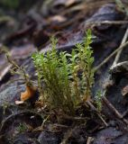 род Bryum