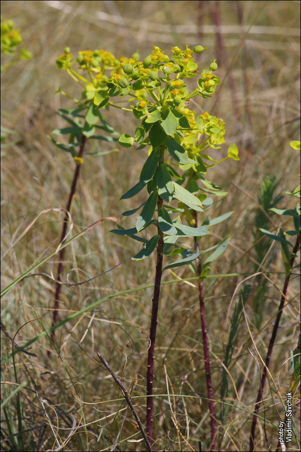 Euphorbia stepposa zoz ex prokh семейство euphorbiaceae