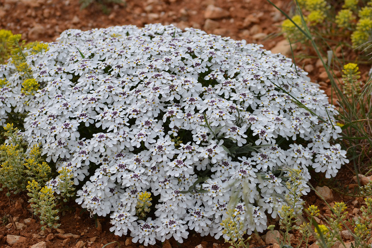 Иберис зонтичный выращивание из семян фото светлячок 80