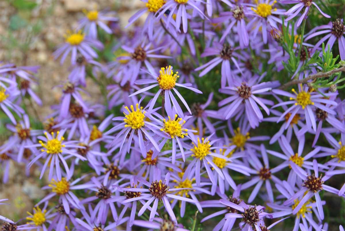 Фелиция цветы выращивание 80