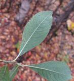 Salix × ludificans
