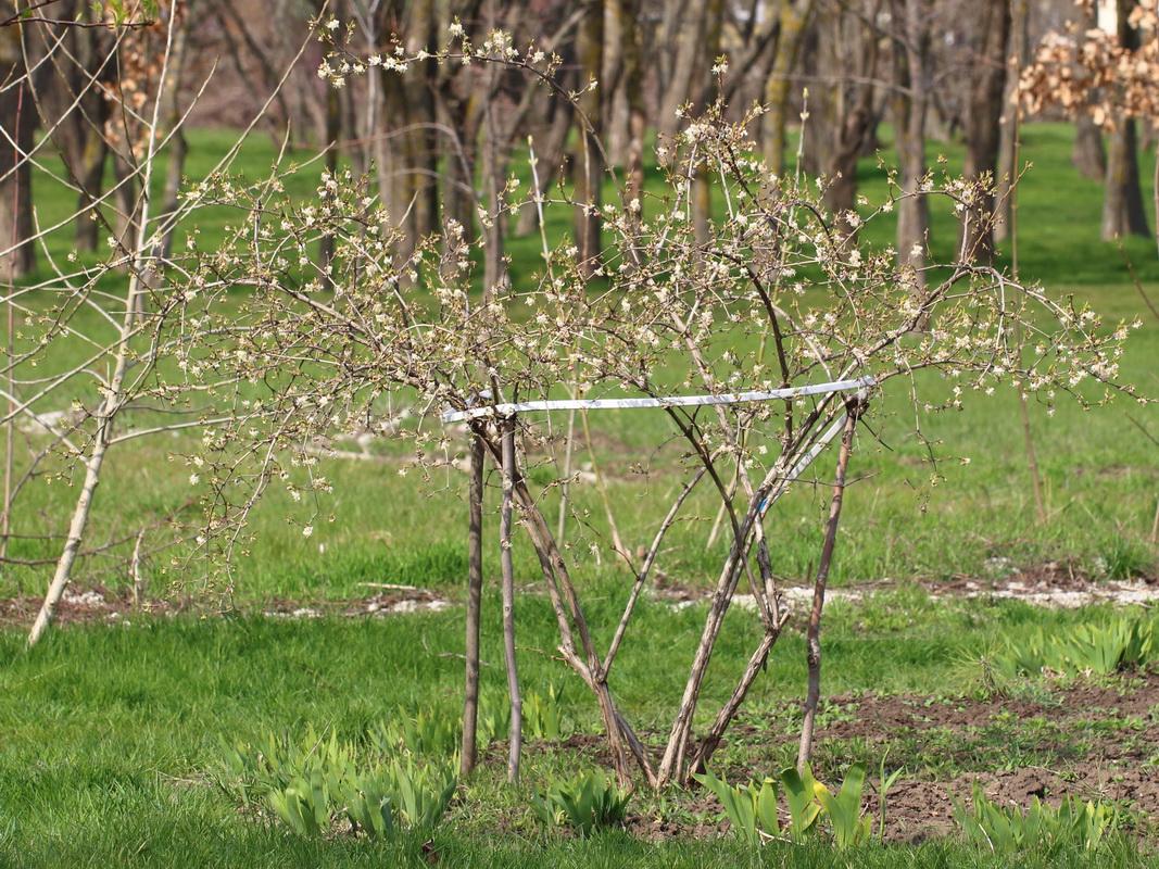 Жимолость душистая (Lonicera fragrantissima)