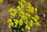 Euphorbia stepposa