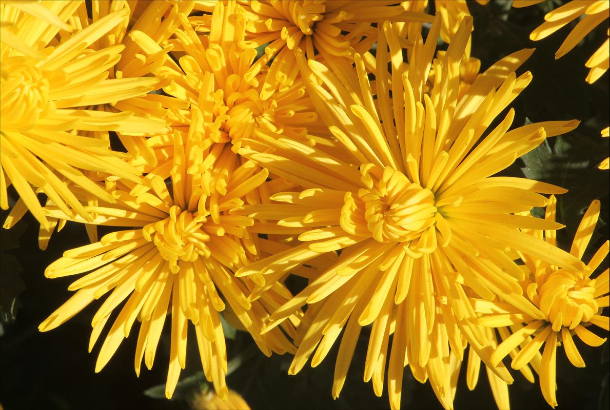 http://www.plantarium.ru/dat/plants/9/996/217996_3b1a5f43.jpg