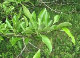 Pyrus × georgica
