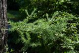 Larix gmelinii