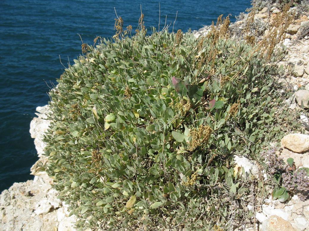 растения на черном море фото применять