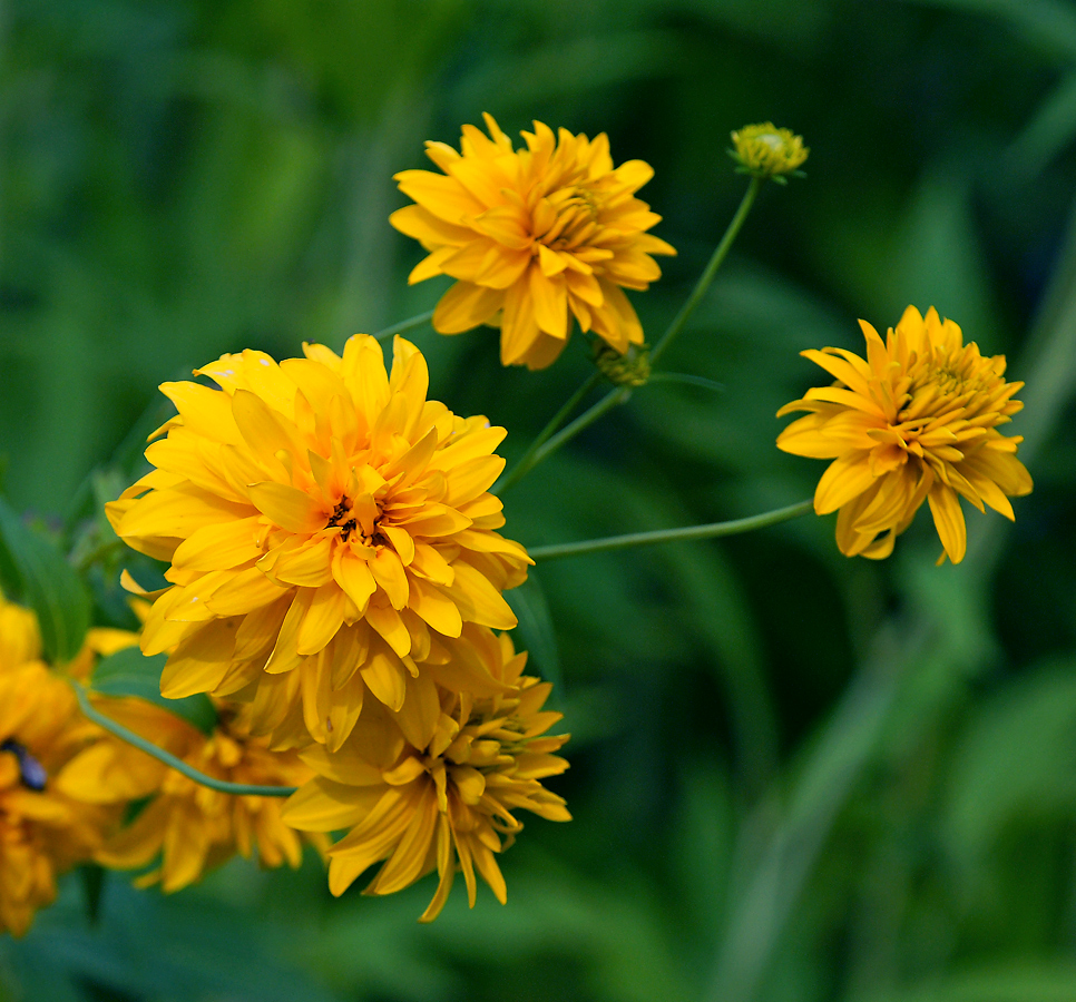 Золотые шары цветы уход