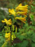 Pseudofumaria